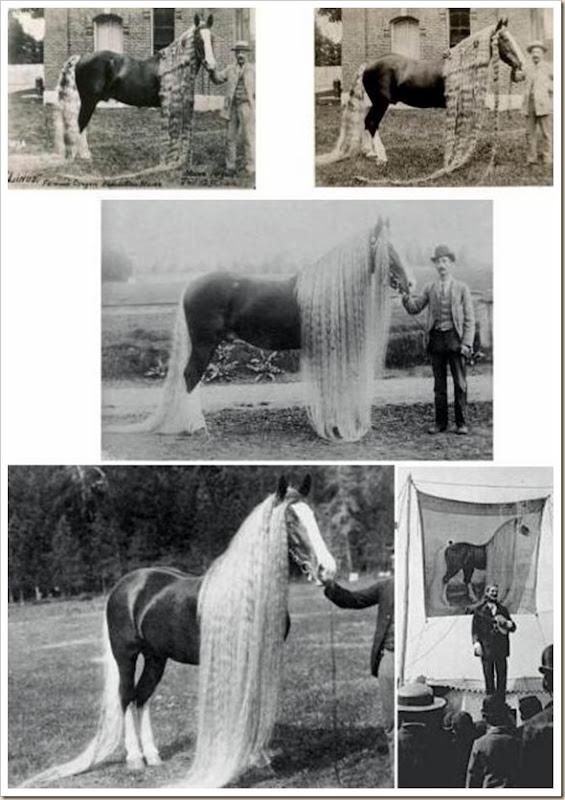 Linus le cheval aux crins les plus long du monde
