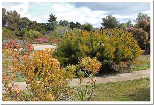 120211_UCSC_Arboretum_Elegia-capensis_05