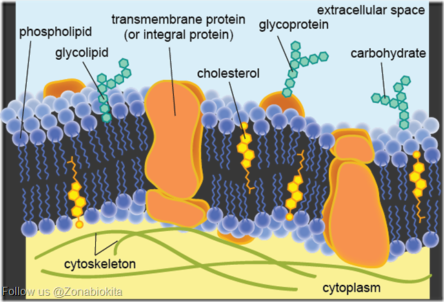 membran plasma samping