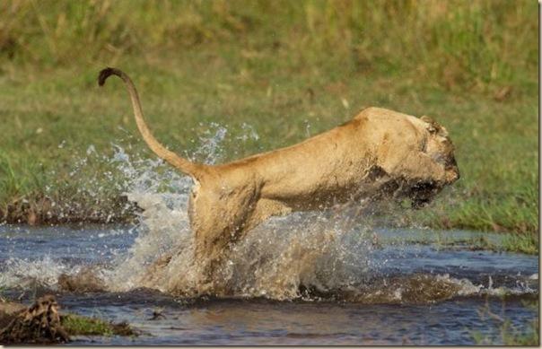 Le courage exeptionnel d'une lionne (7)