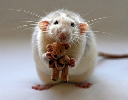 rat with teddy bear1