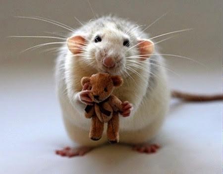 rat with teddy bear1
