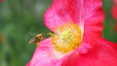 honeybee-at-a-poppy-flower