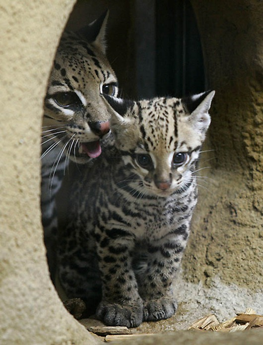 GERMANY-ANIMALS-ZOO-OCELOT