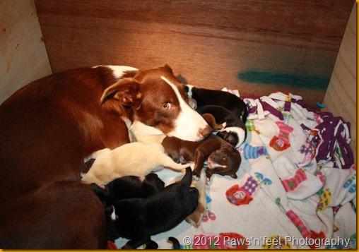 lassies puppies