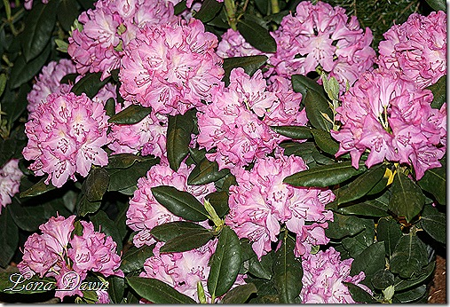 Pink_Rhododendrons