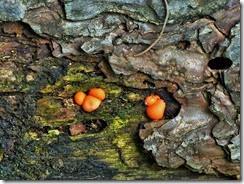 Scutellinia umbrarum on rotten pine. Center Parcs May 2014