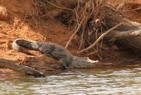 Amazing Pictures of Animals, Photo, Nature, Incredibel, Funny, Zoo, West African, crocodile desert crocodile, Crocodylus suchus, Alex (13)