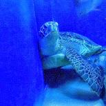 giant sea turtle at the Shinagawa Aquarium in Shinagawa, Tokyo, Japan
