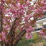 """Prunus serrulata - cerisier du Japon """" Kwanzan """""""