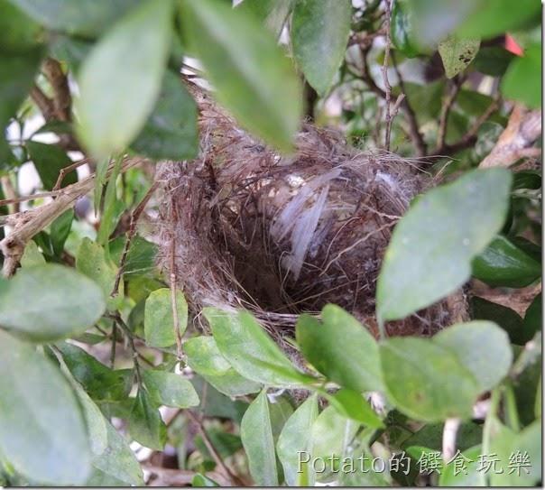綠繡眼在我家築巢10