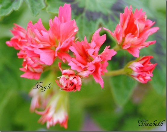 Pelargonium april 2012 018