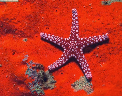 Amazing Pictures of Animals, Photo, Nature, Incredibel, Funny, Zoo, Starfish, Sea Stars, Asteroidea, Alex (20)