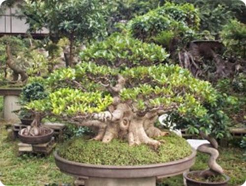 ficus bonsai7