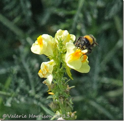 1-bee-on-toadflax