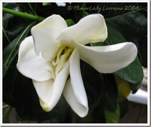 04-29-tahitian-gardenia2