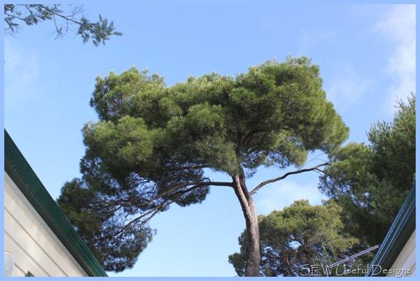 Castlemaine tree