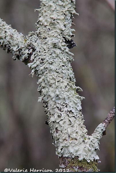 32-lichen