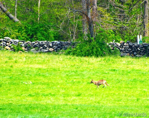 13. coyote-kab