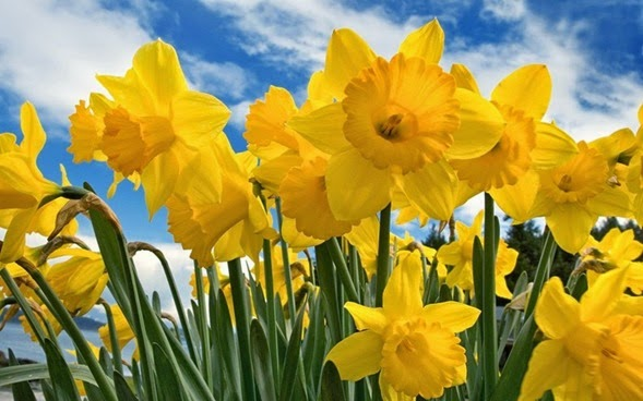 Sunny-Daffodils-1600x2560