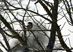 Loggerhead Shrike Waller TX 3