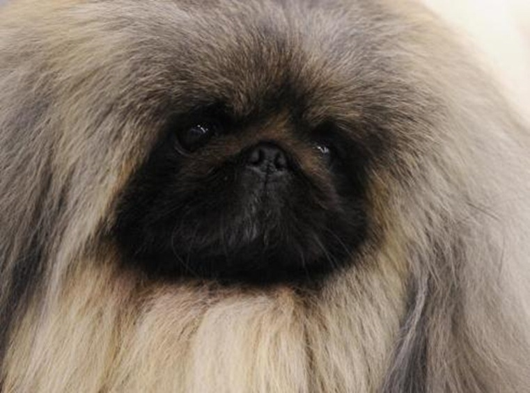 Pekingese-has-regal-look-strong-odds-to-win-VJ1058PF-x-large