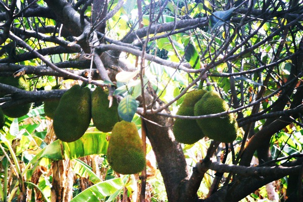 jackfruits