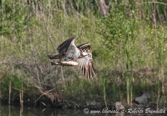 7_Falco pescatore_Pian di Spagna (36)