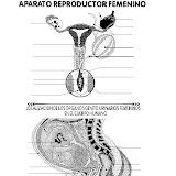 Aparato reproductor femenino para completar con los nombres