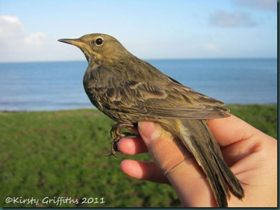 Rock-pipit