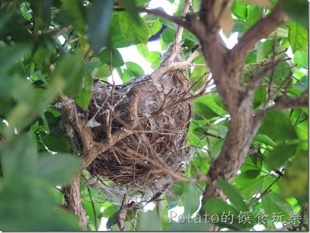 綠繡眼在我家築巢7