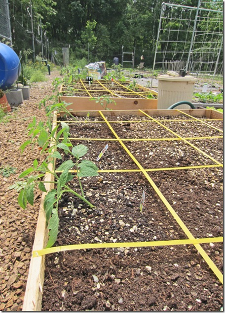 Tomato planting complete