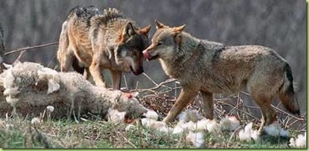 two wolves and a sheep