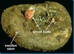 tuber-stem-begonia