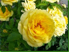 Rosa Yellow Doll