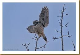 Hawk Owl wings outspreadROT_2650