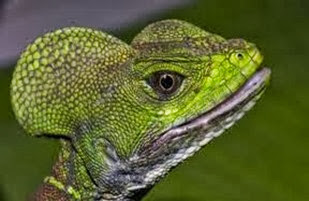 Amazing Pictures of Animals, Photo, Nature, Incredibel, Funny, Zoo, Common basilisk, Basiliscus basiliscus, Reptil, Alex (9)