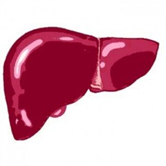 What-Does-The-Liver-Do-300x300