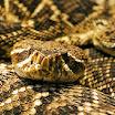 Zoo Atlanta Rattlesnake