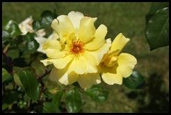 Marialva - Glória Ishizaka -  Largo do Negrilho - rosa amarela