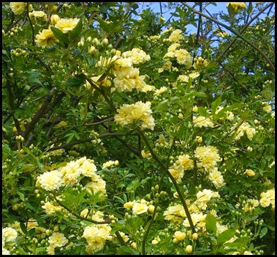 yellow lady banks rose