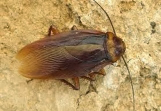 Amazing Pictures of Animals,Photo, Nature, Incredibel, Funny, Zoo, Cockroaches,Blattaria or Blattodea, Insecta, Alex (2)