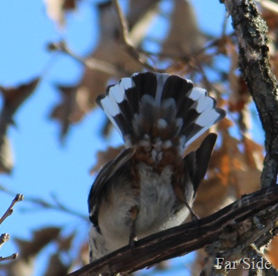 Tail feathers of a Nuthatch