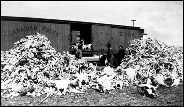 Le massacre des bisons en Amérique-1