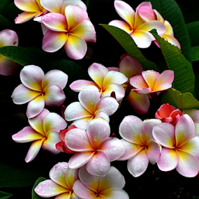 Pink Frangipani 49 by Mark Zouroudis - Flowers Flowers in the Wild