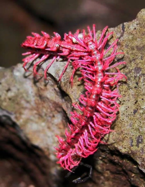 Pink Nillipede