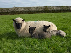 Ewe & 2 lambs sitting face on.jpg