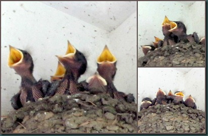 barn swallow collage
