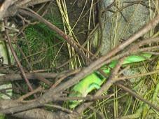 2014.04.21-023 lézard vert