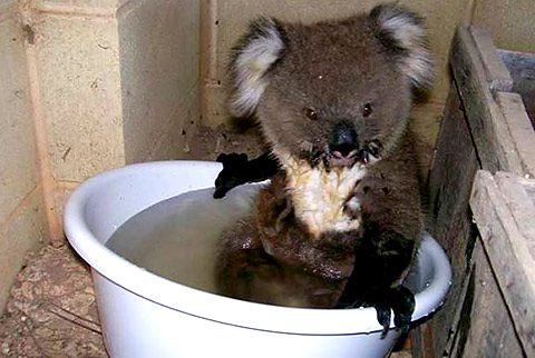 A baby koala named 'Joey' was found shaking and sickly beneath the verandah of Mrs. Tracey Young, during the Australia drought of 2009. He had been deserted by his sick mum and left to roast in the blistering temperatures. Probably his mum had become distressed and disorientated by the heat, so she left the baby on its own without even realising. Blisteringly hot conditions forced the baby koala out of his tree. seawayblog.blogspot.com
